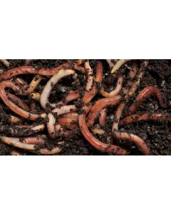 Tiger Worms for Wormery